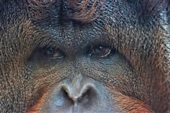 Feeling Blue (stellagrimsdale) Tags: orangutan monkey red face eyes nose hair mammal ape animal