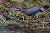 Water Ouzel (douglas l. brown) Tags: fish egg trout creek stream nature
