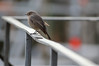 Tungt Kryss (ove ferling) Tags: birds nature wildlife black redstart west sweden gothenburg iron bending