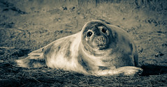 Portrait of a Grey Seal Pup (littlestschnauzer) Tags: mono seal pup seals animals baby young donna nook uk east coast beach december 2017 wildlife nature adorable portrait cute nikon d7200