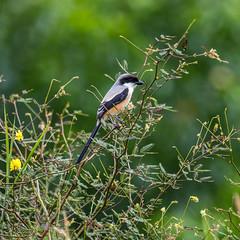 20171130-5D4_5527 (shutterblades) Tags: birds canon100400lmkii14tc canon5div longtailedshrike seletaraerospacehub seletarwestlink