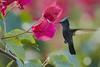 Antillean Crested Hummingbird (ronmcmanus1) Tags: antigua nature outdoors bird wildlife animals caribbean jollyharbour stmarysparish antiguabarbuda