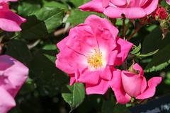 Maig_1487 (Joanbrebo) Tags: barcelona catalunya españa es park parque parc parccervantes garden jardí jardín flors flores flowers fleur fiori blumen blossom rosa rose
