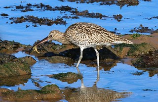 Curlew 1 WNTS 13th Sept 2017
