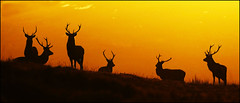 Stag Do (McRusty) Tags: wild red stag stags setting sun mist monadhliath mountains great glen highland scotland silhouettes antlers snow beautiful natural outdoor