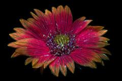 Blanketflower Blooming 2 s (C. Burrows) Tags: uvivf flower botany nature blanketflower