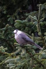 Mésangeai du Canada (www.sophiethibault.ca) Tags: orignal safari novembre nature forêtmontmorency canada québec animaux 2017 oiseau mésangeai