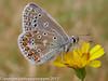 DSCN0020 Common Blue (fabHappySnapper) Tags: commonblue nectaring underside