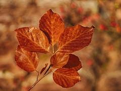 Color de otoño... (T.I.T.A.) Tags: otoño autumn hoja haya hojaseca bayas ciñera hayedodeciñera leon castillayleón bokeh