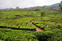 India - Kerala - Munnar - Tea Plantagen - Harvest - 235 (asienman) Tags: india kerala munnar teaplantagen asienmanphotography