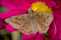 Horaces Duskywing Skipper (tresed47) Tags: 2017 201711nov 20171104homemacro butterflies canon7d chestercounty content duskywing fall folder home insects macro november pennsylvania peterscamera petersphotos places ringflash season skipper skipperhoracesduskywing takenby technical us