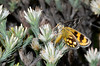 Sun-moth: Synemon sp (jeans_Photos) Tags: sunmoth westernaustralia watershedroad beverley stateforest feedingonandersoniaspaudax