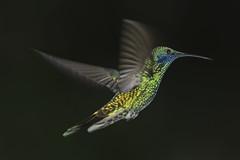 Colibrí 8 (José M. Arboleda) Tags: ave colibrí troquilino trochilinae léguaro coconuco puracé colombia canon eos 5d markiv ef400mmf56lusm jose arboleda josémarboleda