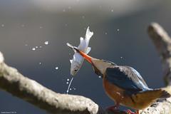 Gli ultimi istanti di un pesciolino qualunque (Claudio Ghizzo) Tags: kingfisher martinpescatore alcedoatthis nikon wildlifephoto