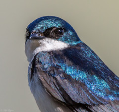 Tree Swallow (Tachycineta bicolor) (NigelJE) Tags: treeswallow swallow tachycineta tachycinetabicolor hirundinidae nigelje whitelake
