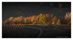 Quel che resta del giorno (GP Camera) Tags: nikond7100 nikonafsdx55300mmf4556gedvr landscape paesaggio countryside campagna trees alberi autumn autunno colors colori vineyard vigneto road strada light luce shadows ombre lightandshadows lucieombre lighteffects effettidiluce goldenlight lucedorata sunsetlight lucealtramonto textures trame darkbackground sfondoscuro depthoffield profonditàdicampo vignetting silence silenzio calm calma quiet quiete thebestyellow ethereal etereo whiteframe cornicebianca italy italia piemonte monferrato darktable gimp opensource freesoftware softwarelibero digitalprocessing elaborazionedigitale
