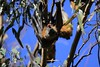 Flying Fox Yawn (BattysGambit) Tags: gumtree bluesky yawning 150mm600mm sigma 7d canon flyingfox fruitbat fruit fox mammal flying bat shepparton tatura country victoria australia spring 2017