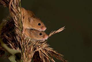 Harvest Mouse-48