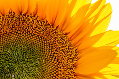 Sunflower Brilliance (Rod Heywood) Tags: yellow sunflowers closeup petals seeds colorful