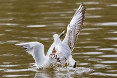 Va-t'en! - Get away! (bboozoo) Tags: canon6d tamron150600 mouette seagull bird oiseau nature animal wildlife eau water lac lake