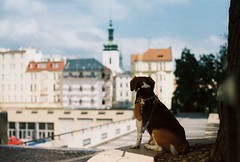 Majky enjoying the view (Chimpules) Tags: dog beagle bokeh m42 pentacon 1850 film analogue city brno praktica tl1000 kodak colorplus