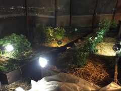 IMG_5325 (CannaPsy) Tags: medicalcannabis medicalmarijuana cannabis organic sungrown truelivingorganics notill weed ganja herb dank caliweed cleanmeds ecofriendly legalization warondrugs prohibition