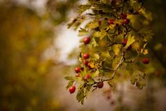 Remembering brighter Days (ursulamller900) Tags: trioplan2950 naturagart red berries bokeh autumn autumncolors herbst weisdorn