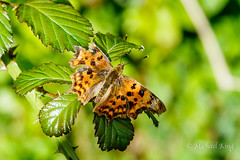 Battered but not beaten (michaelking22) Tags: butterfly comma common tatty injured insect nature wildlife orange black green foliage summer closeup