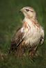 Long-legged buzzard (arfromqatar) Tags: arfromqatar abdulrahmanalkhulaifi qatar2022fifaworldcup qatar2022 qatarphotos nikond500