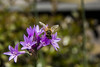 Abeja (Liz Alfaro) Tags: abeja bee volar flores lilas moradas violet naturaleza liz alfaro canon60d santiago plantas