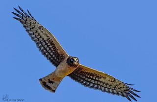 Female Northern Harrier.