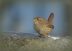 On the beach chasing wrens at the Isle of Whithorn, S W Scotland (Rosie Chilton) Tags: onthebeach