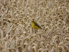Balancing (Lexie's Mum) Tags: continuing30dayswild walking walks walkingthedog nature wildlife scenery floraandfauna wheat bird yellowwagtail