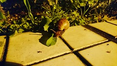 No People Plant Shadow Outdoors Nature Day One Animal Animals In The Wild Animal Themes Close-up Snail Dinnertime Leafs 🍃 (Mahantesh I. Biradar) Tags: nopeople plant shadow outdoors nature day oneanimal animalsinthewild animalthemes closeup snail dinnertime leafs🍃