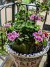 GAIN (idunbarreid) Tags: mosaic pelargonium bougainvillea