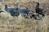 Wild Turkeys in Backyard (Ernie Orr) Tags: bobrussell rmrussell turkeys wildlife wildturkeys wildturkey colorado turkey