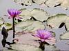 Nenúfares  ( Nymphaea Odorata ) (Ana_1965_2010) Tags: fotografíadenaturaleza naturaleza natura nature natur flora floracion flor flores flower flowers fiore fiori fleur fleurs blume blumen blüte blüten planta plant plantas plants acuatica acuaticas plantaacuatica plantasacuaticas nenufar nenufares nenufaresperfumados nymphaea nenufarperfumado nymphalidae nymphaeaodorata purpura purple estanque agua water wasser eau acqua jardinjapones flickr jardinjaponesdebuenosaires beauty anawilli outdoor