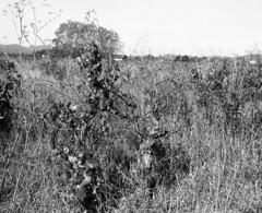 8837 (Greg.photographie) Tags: mamiya rb pros mediumformat moyenformat 6x7 sekor 65mm f45 film analog foma fomapan 100 r09 noiretblanc bw blackandwhite vignes vine vines old