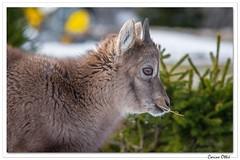 Le p'tit dernier en tenue d'hiver ! (C. OTTIE et J-Y KERMORVANT) Tags: nature animaux mammifères bouquetins bouquetindesalpes capraibex montagnes suisse
