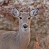 IMG_8735 (DavidMC92) Tags: deer martin park oklahoma city whitetail canon eos 7d tamron sp 70300mm morning wildlife