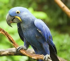 Nashville Zoo 08-21-2016 - Hyacinth Macaw 8 (David441491) Tags: hyacinthmacaw macaw bird nashvillezoo