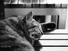 Sleeping Cat (Reza.Travilla) Tags: cat animal blackandwhite beauty beautiful bw olympus olympuspenf olympuspen penf art cute inspiration microfourthirds lightandshadow mirrorless