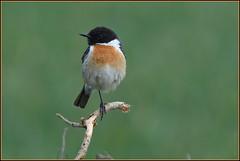 """N° 846 / Tarier pâtre """" mâle """" ( Saxicola rubicola ) Focus Distance - 7.94 m (Norbert Lefevre) Tags: passereau tarierpâtre plumage insectivore nikon d500 300mmf4 stonechat"""