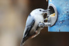 White-breasted Nuthatch (U.S. Fish and Wildlife Service - Midwest Region) Tags: fall 2017 october minnesota mn saintpaul stpaul fortsnelling statepark nuthatch bird birds birding birdfeeder feeder feeding food eat eating whitebreastednuthatch nature wildlife