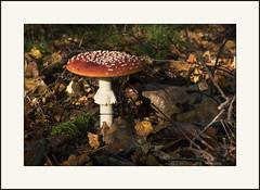 The last remains ... (Jan Gee) Tags: vliegenzwam mushroom pilz paddenstoel paddestoel rood witte stippen amanita muscaria