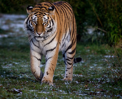 Hope, in the Land of the Tiger (Panthera tigris altaica) (neil 36) Tags: amur tiger snowfall grass land hope tschunas cub
