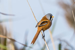 Bearded tit (dave_poth) Tags: