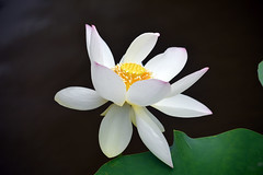 White lotus (pontla) Tags: lotus nara japan flower macro ngc