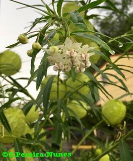 Flowering Baloon Plant, Milkweed, El Salvador