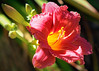 Day Lily (San Francisco Gal) Tags: daylily flower bud macro fleur bloom blossom ngc npc